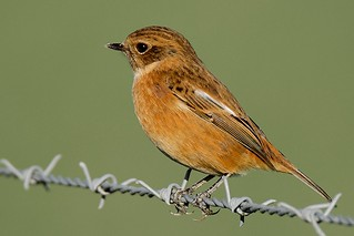 Stonechat (female) (Explored)