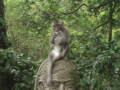 Macaque Drinking His Juice Cup