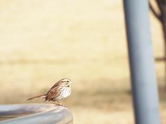 Song Sparrow (Jonathan Layman) Tags: bird sparrow songsparrow melospizamelodia melospiza northpointpark melospizamelodiamelodia