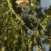 Silvery-cheeked Hornbill - Kenya_S4E7236