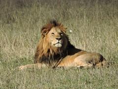 Male lion posing 2 (David Bygott) Tags: africa tanzania lion ngorongoro crater nca nge davidbygott