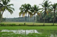 kerala (jitin914) Tags: india nature nikon kerala greenery cochin ernakulam coconuttrees d90