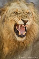 The Marataba King (hvhe1) Tags: africa southafrica lion safari smell löwe sampling gamedrive gamereserve pantheraleo flehmen flehmenresponse specanimal hvhe1 hennievanheerden flehming waterbergmountains maratabasafarilodge