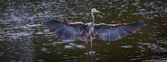 20150227 5DIII Wakodahatchee 95 (James Scott S) Tags: birds animals canon scott james unitedstates florida wildlife birding flight s wetlands everglades preserve 70200 ef delraybeach wakodahatchee 5diii