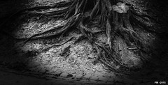 tentacules de l'ombre (P. Marion) Tags: blackandwhite bw white black tree blanco blackwhite amazing nikon noir noiretblanc zwartwit unique awesome negro creative roots super nb best exquisite bandw pm schwarzweiss zwart wit weiss arbre blanc schwarz fort mejor noirblanc meilleur zw racines kreativ incroyable erstaunlich asombroso zwartenwit impressionant einzigartig uniek negroblanco marione d810 exquis netb zenw scheppend ehrfrchtige