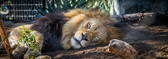 2014 - San Diego Zoo - Even the King takes an Afternoon Nap (Ted's photos - For Me & You) Tags: sleeping animal tongue beard eyes nikon sandiego bokeh lion cropped vignetting sandiegozoo primate mane 2014 atrest d600 kingofbeasts sandiegocalifornia sandiegocalif tedmcgrath simplysuperb tedsphotos nikonfx d600fx sandiegozoolion