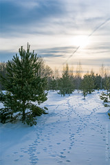 traces (kosachyov) Tags: morning winter light sun sunlight snow tree nature pine forest sunrise landscape dawn march spring twilight woods russia wildlife traces february