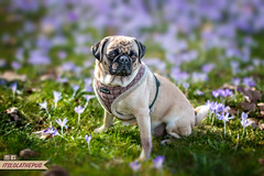 It's spring-time ;-) (brat_ro) Tags: dog pet pets flower dogs nature animal animals landscape spring lola pug gras pugs