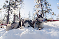 Doggies (Up.And.Away) Tags: snow finland husky sneeuw lapland salla huskys tuvat sledetocht voigttravel