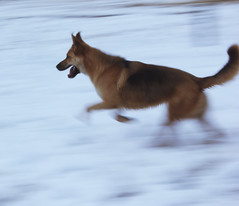 go get it (mr_gngr) Tags: dog white snow speed canon turkey fast running istanbul pace 550d t2i