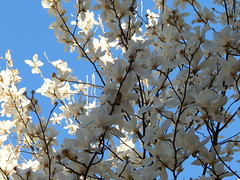 Magnolia, Feb 23 (amgirl) Tags: seattle flowers winter sky tree blossoms sunny magnolia february23 2015