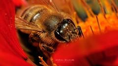 Peek- a-boo (L a t i t u d e) Tags: flower macro nature bee raynoxdcr250 nikon70300mmvr sunpakpz42x d300s