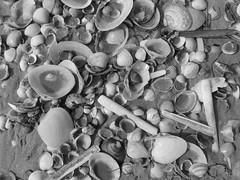Shell debris (cyclingshepherd) Tags: 2015 cyclingshepherd march portugal algarve olhão armona ilha beach island sand seashell seashells shells shell monochrome blackandwhite cockles razor clams s100fs algarvepitoresco