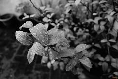 Infinity_2015-03-02_00006 (shriparv) Tags: plant flower nature rain leaf drops natural infinity raindrop shashwat shriparv shashwatshriparv infinitypics