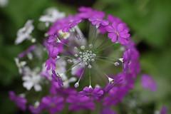Fairy Primrose (Fliederprimel) (roland_zink) Tags: germany hessen natur deu frankfurtammain