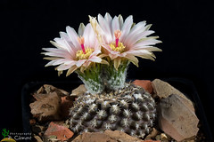 Neoporteria odieri (clement_peiffer) Tags: neoporteria odieri d7100 105mm nikon cactus fleurs flowerscolors