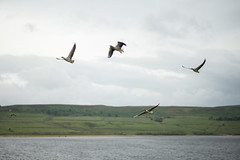 The Wild Geese (sunsetbeach) Tags: birds geese wildgeese flying derwentreservoir northumberland flyby