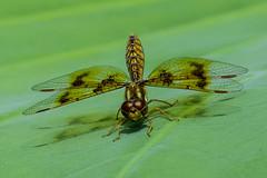 DragonFly_SAF9989 (sara97) Tags: copyright2016saraannefinke dragonfly flyinginsect insect missouri mosquitohawk nature odonata outdoors photobysaraannefinke predator saintlouis towergrovepark urbanpark