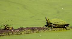 Painted turtles in the swamp (rpennington9) Tags: turtles animals turtle tennessee chattanooga nikon reptilesandamphibians reptiles
