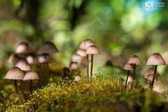 Fungi Family (Christian Villicaa (Fotografa)) Tags: fungi canon 6d canon6d 50mmf14 hongos hongosluminosos colima