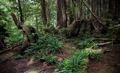 Rain forest (Cyrielle Beaubois) Tags: 2016 bc britishcolumbia canoneos5dmarkii cyriellebeaubois seattle tofino ucluelet vancouver travel island canada rain forest trees fern woods pac ocean sea lions waves rocks mountains landscape tree