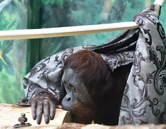 Do I have to let you look at me (RichSeattle) Tags: animal animals oregon portland zoo monkey nikon hide blanket orangutan ape d750 oregonzoo richseattle