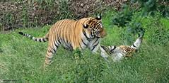 Tigers J78A1263 (M0JRA) Tags: yorkshire wild life park animals doncaster tigers