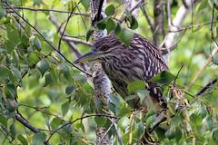 Juvenile Black-crowned Night Heron (millerb34) Tags: birdperfect