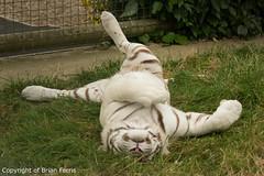 IMGP2376 (acornuser) Tags: uk kent pentax sanctuary bigcats whitetiger k3 wildlifeheritagefoundation whf