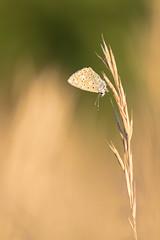 Epur / Refined (totoro_59fr) Tags: papillon lpidoptre argusbleu