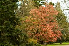 Sunrise Horse Chestnut (Mark at Magdalen) Tags: trees england plants unitedkingdom places gloucestershire westonbirt gb