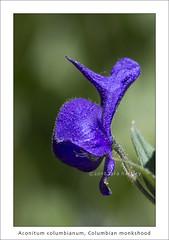 Aconitum columbianum, monkshood (red_delphinium  AKA Lara hartley AKA redshoe) Tags: california purple ranunculaceae monkshood easternsierra onionvalley aconitumcolumbianum eastensierranevadamountains