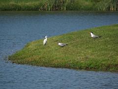 Little Blue Heron and Caspian Terns (magarell) Tags: bird littleblueheron caspiantern mercercorporatepark robbinsville mercercounty nj