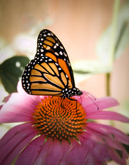 The Monarch (http://fineartamerica.com/profiles/robert-bales.ht) Tags: wild people orange usa black flower nature beautiful beauty animal animals yellow closeup butterfly bug insect photo spring wildlife tiger wing places idaho boise monarch tropical metropolis migratory states projects migration majestic isolated haybales zoology migrant monarchbutterfly danausplexippus milkweedbutterfly boisezoo forupload northamericanbutterflies robertbales butterflyormonth butterflybloomexhibit