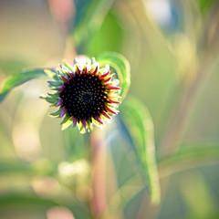Star Light, Star Bright (Lala Lands) Tags: purpleconeflower echinaceapurpurea summereveninglight communitygardens starbrightstarlight wishes bokeh dof nikkor105mmf28 nikond7200