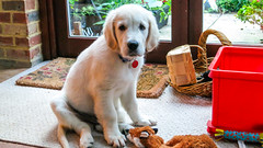 Charlie with toys (Mark Rainbird) Tags: uk england dog canon puppy unitedkingdom retriever charlie powershots100 burghfieldcommon