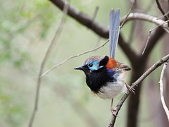Variegated Fairy-wren (Vas Smilevski) Tags: variegatedfairywren fairywren maluruslamberti male maluridae birds bird birding feathers wildlife avian australianbirds australia nsw nature ngc animals m43 getolympus olympusomdem1 mzuiko300mmf4pro olympus olympusau olympusinspired em1 omd 300mm