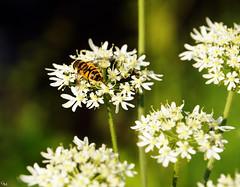 Tag 92 (Gitta Martin) Tags: 100tagefotoaktion sommer biene blte flower summer sonyalpha57 bee garten honig bienenstich makro insekt bestubung tier natur sting pollination insect macro garden honey animal