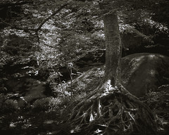 Draining for your shadow (Kevin STRAGLIATI) Tags: stone france landscape tree forest huelgoat brittany bw roots nature light