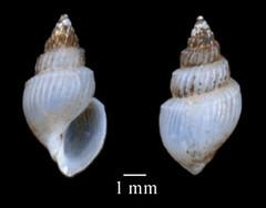 MOL_ 1728_M_gabbi_2214_01_352x276.gif (MaKuriwa) Tags: mollusca gastropoda mesogastropoda rissoidae microstelma