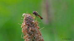 Schwebfliege auf Grasblte (Oerliuschi) Tags: schwebfliege fliege fly fluginsekt natur makroaufnahme lumixgx8 panasonic