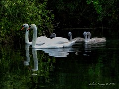 Summer along the river (Belinda Fewings (3 million views. Thank You)) Tags: family summer swimming sunday july swans rspb bbcsummerwatch