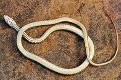 Eastern Coachwhip, Juvenile (kaptainkory) Tags: herp reptile squamata squamate snake serpentes snakecoluberflagellum eastern coachwhip juvenile baby young underside venter ventral belly gravelridge ar unitedstatesofamerica usa