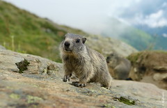 klein (welenna) Tags: alpen alps animals switzerland summer saasfee spielboden murmeltier kids marmot tier