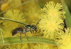 Enjoying the wattle flowers (Jenny Thynne) Tags: bee insect brisbane queensland australia halictidae hymenoptera homalictusflindersi wattle acacia fimbriata flower pollen australiannativebee pollinator