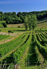 entre deux-mers , Gironde (jean-marc losey) Tags: france aquitaine entredeuxmers vigne peuplier d700