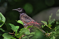 tourneau sansonnet  --- Common starling ---  Estornino pinto (Jacques Sauv) Tags: sansonnet juvnile common starling estornino pinto oiseau bird ave