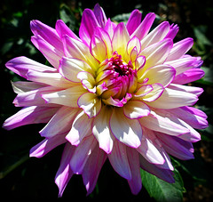Dahlia (Colorado Sands) Tags: dahlia littleton colorado sandraleidholdt hudsongardens flower pink bloom flor petal