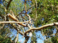 tangled (Lovely Pom) Tags: tree tangle branches tie knots twigs love heart shape plant outdoor