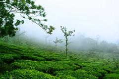 @ Munnar, Kerala, India (Suresh Photography) Tags: munnar kerala nature green colors fog mist clouds morning nikon suresh chennai tamilnadu india sureshcprog sureshphotography d5300 landscape trees